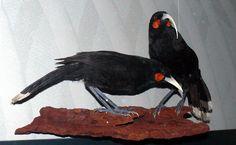 Huia (Heteralocha acutirostris)  O único lugar no mundo onde era possível se encontrar huias era no norte da Nova Zelândia. Para os maoris as penas das aves era um sinal de status: só os chefes podiam usá-las como adorno. Mais tarde, com a chegada dos europeus, as aves passaram a ser alvo de colecionadores – que desejavam empalhar os animais para deixá-los como peças de decoração – e sua população caiu drasticamente. O último indivíduo foi visto em 1907.