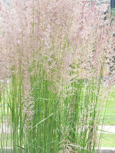 Calamagrostis 'Karl Forester' a fabulous ornamental grass!
