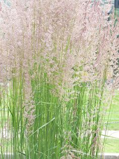 Calamagrostis 'Karl Forester' a fabulous ornamental grass!