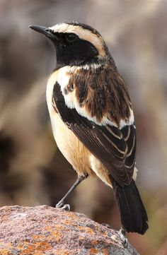 Buff-streaked Chat, Buff-streaked Bushchat, Campicoloides bifasciatus (male) at Marakele National Park, South Africa | by Derek Keats