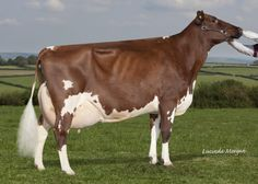 Types of Red Cows | Dam: Haresfoot Simply Red Pamela EX94 3E