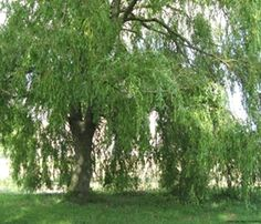 Pil har sandsynligvis vokset i Danmark lige så længe der har været træer i landet. Det var et af de første træer der indvandrede, da isen smeltede tilbage efter sidste istid for 10.000 – 15.000 år siden. I gamle dage brugte man piletræets lange tynde skud til at flette måtter og kurve, og man siger, at det er muligt at finde vand med en pilekvist, der er formet som et Y.