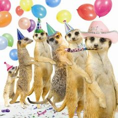Birthday meerkat