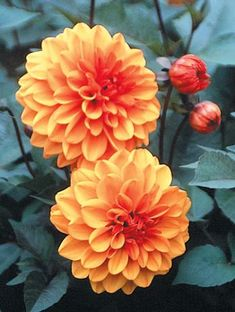 For front tropical garden perhaps? Dahlia 'David Howard' (David Howard Dahlia)