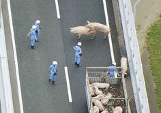 Interdição durou 5h30 enquanto policiais retiravam os porcos da pista