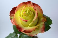 """Zazu"" rose  #xactproducts #colorful #style #instaflowes #flowerporn #flowerstagram #flowersofinstagram #floristsofinstagram #floristry #florist #flowershop #ihavethisthingwithflowers #floristlife #eventflowers #seasonalflowers #floraldesigner #rose #roses Seasonal Flowers, All Flowers, Floral Design, Fragrance, Roses, Colorful, Create, Plants, Instagram"