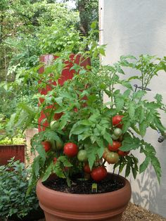 Better Bush Tomato Plant in Container