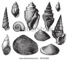 Shell fossils (Tertiary period) / Vintage illustration from Meyers Konversations-Lexikon 1897 (pay)