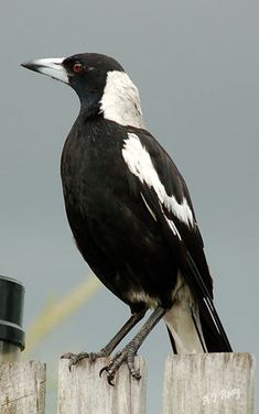 Australian Magpie on my back fence