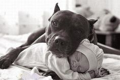 The 5 Widespread Myths about Pitbulls
