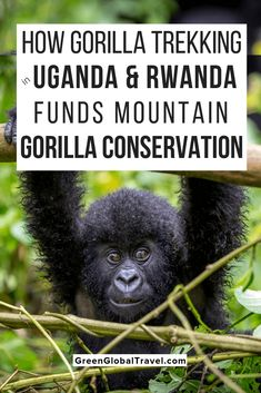 The Ultimate Guide to Gorilla Trekking in Uganda & Rwanda. Includes details on trekking permits what to expect from the experience and what to pack Travel Usa, Travel Tips, Travel Packing, Travel Ideas, Africa Destinations, Travel Destinations, Africa Travel, Uganda Travel, Thailand Travel