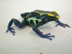 Frog - Poison Dart - Dyeing Dart (Dendrobates tinctorius) Poison Dart, Amphibians, Frogs, Animals, Animales, Animaux, Animais, Animal