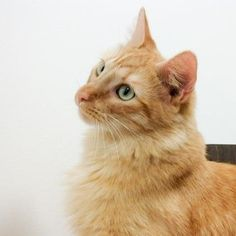 Garfield is a friendly kitty who is available for adoption at our Mission campus!