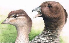 Matteo Grilli Wildlife Art: Meeting the Australian Wood Duck