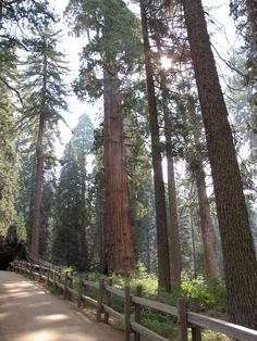 Giant Sequoia ~ Sequoia National Park - California - Photo courtesy of Desiree Lambert Northern California, Visalia California, California Usa, Death Valley, Great Places, Places To See, Beautiful World, Beautiful Places, Sequoia National Park California
