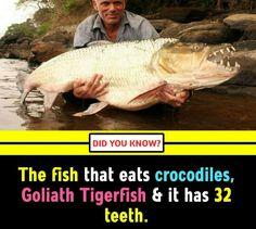 The fish that eats crocodile Random Science Facts, Crocodiles, Did You Know, Fish, Crocodile, Pisces