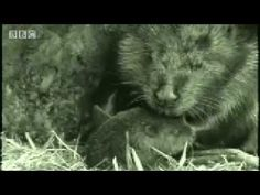 Sir David Attenborough narrates this fascinating animal video recording the way in which beavers build a lodge in just 20 days. Includes cute footage of baby beavers. Interesting wildlife video from BBC show 'Beavers: The Master Builder'.