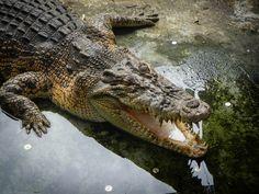 Crocodile farm and ZOO  http://www.inspirawtion.com/jongs-crocodile-farm.html