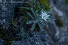 Tiny edelweiss in the Tatra Mountains.