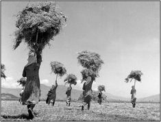 Hay transfer, Larisa, Greece, 1948 - by Τakis Tloupas - Greek Vintage Pictures, Old Pictures, What A Country, Greece History, Old Time Photos, Greece Art, Greece Pictures, New Years Wedding, Greece Photography