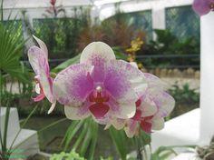 Uma bela orquídea do jardim Botânico do Rio de Janeiro.