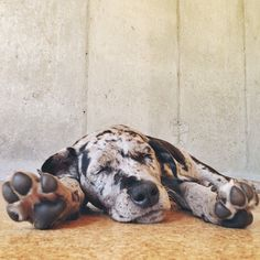 This is Franconia (or Frankie or Franx), a catahoula. She loves tripe, bananas, and sweet potato. Prefers tearing through dirt, rocks, and bushes to concrete. In other words, perfect.