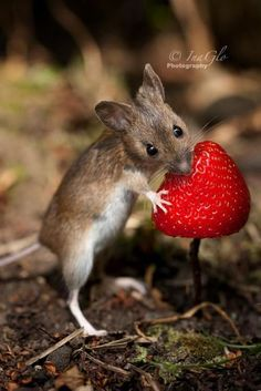 Souris des bois - Wood Mouse with strawberry Animals And Pets, Baby Animals, Funny Animals, Cute Animals, Nature Animals, Wild Animals, Hamsters, Rodents, Gerbil