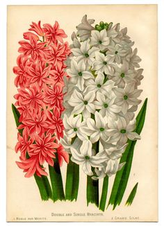 Instant Art Botanical Printable - Gorgeous Hyacinths - The Graphics Fairy