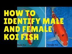 how to identify male and female koi fish | Koi and Goldfish breeding tips
