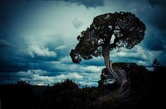 twisted cedar trees | Twisted tree trunk, old cedar tree at Gunnison National Park (Black ... Gunnison National Park, National Parks, Twisted Tree, Cedar Trees, Daydream, Kitchen Doors, Clouds, Sky, Wall Art