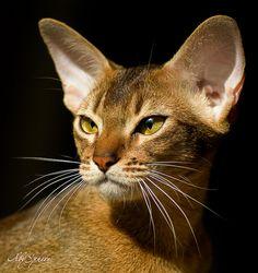 Abyssinian cat Bjork - portrait on black