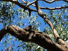 A sleepy #Koala seen during the awesome  #GreatOceanRoad sunset Tour  with Bunyip! #followthebunyip