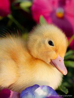 Duckling by Nevena Uzurov