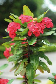 L'Euforbia, una pianta dai caratteristici fiori in genere rossi. Richiede poche attenzioni, è facile da curare e può fiorire tutto l'anno. #flowers #plants #garden #gardening