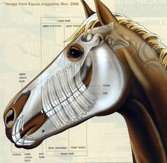 What a great resource for camp and lessons! I'm always trying to pry the horse's mouth open to explain the gap between the front and back teeth, as well as the size difference. Horse Anatomy Pictures-Think Like a Horse-Rick Gore Horsemanship ®