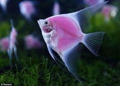Pink fish that glow in the dark?! Yep, my daughter lost her shizz GloFish www.glofish.com