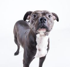 KELSEY - URGENT - Dekalb County Animal Shelter in Decatur, Georgia - ADOPT OR FOSTER - 1 year old Female Am. Pit Bull Terrier Mix