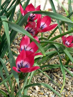 Tulipa hagerii 'Little Beauty'