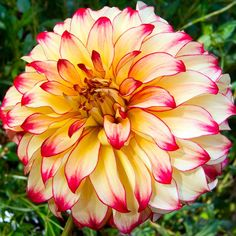 "Lady Darlene Dahlia (8"" bloom; 3' bush): yellow and red."