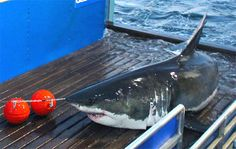 New Jersey's most famous shark was detected near the coast of Atlantic City late Wednesday afternoon and in the Barnegat Bay early Thursday morning.