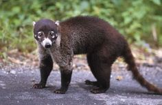 Coati or Coatimundi a small mammal related to the raccoon. There are two species. One is native to Central and South America and parts of Arizona and Texas and the other inhabits Brazil. Coatimundi, Raccoon Family, Texas Animals, Flesh Eating, Interesting Facts About World, Animals Amazing, Black Mask, Pictures To Draw, Latest Pics