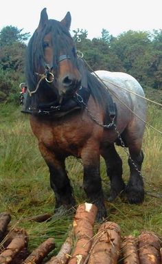Draft Horse Big Horses, Types Of Horses, Work Horses, Horse Love, All About Horses, Draft Horse Breeds, All The Pretty Horses, Ponys, Horse Pictures