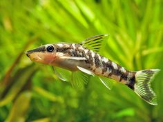The Aquatic Plant Society – Otocinclus cocama