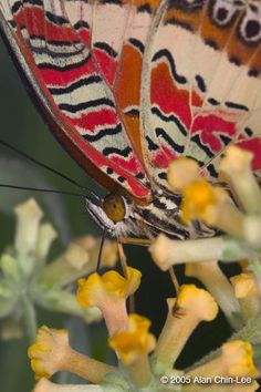 Red Lacewing (Cethosia biblis), Philippines. Florida Museum of Natural History Lepidoptera Image Gallery, Alan Chin-Lee, photographer.