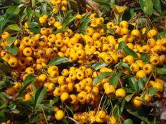 Pyracantha soleil d'or Bog Garden, Hydrangea Macrophylla, Shrubs, Pond, Pumpkin, Nature, Outdoor, Yellow, Pretty
