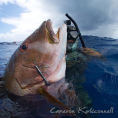 For now this fish in the photo stands of the world record for pole spear but I think in the coming weeks a lot of records are going to fall. #spearfishing #freediving #snapperslapper Cameron Kirkconnell