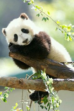 A resting panda