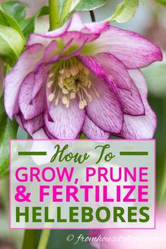 Perennials These gardening tips for growing Lenten Rose are the BEST! I need some ground cover plants for the shade and these low maintenance perennials will be perfect. Shade Flowers, Shade Plants, Pretty Flowers, Art Flowers, Wild Flowers, Shade Perennials, Flowers Perennials, Planting Flowers, Flowers Garden