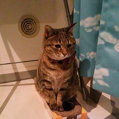 「おはにゃーん❗good morning to all❗  #ねこ #猫 #猫写真 #ネコ #しましま軍団 #ニャンコ強化月間 #きじとら #きじねこ #キジトラ #キジネコ #cat #catstagram #instacat #neko #kitty #tabby #고양이」