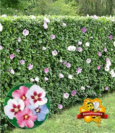Eine Hecke mit Blüten im Überfluss und das in mehreren Farben bunt gemischt! Nach kurzer Zeit und je nach Schnitt wächst die Hecke bis auf 1,5-2 Meter Höhe und ist zudem winterhart. Ab sofort erhältlich im Mein Schöner Garten Shop.